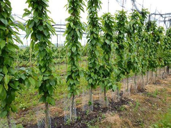 Посадка колоновидной груши: советы по выращиванию урожайных сортов