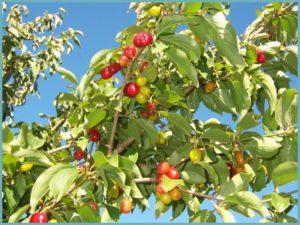 Кизил обыкновенный – нужная ягода для Вашего сада