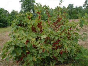 Посадка красной смородины весной: правильно высаживаем саженцы