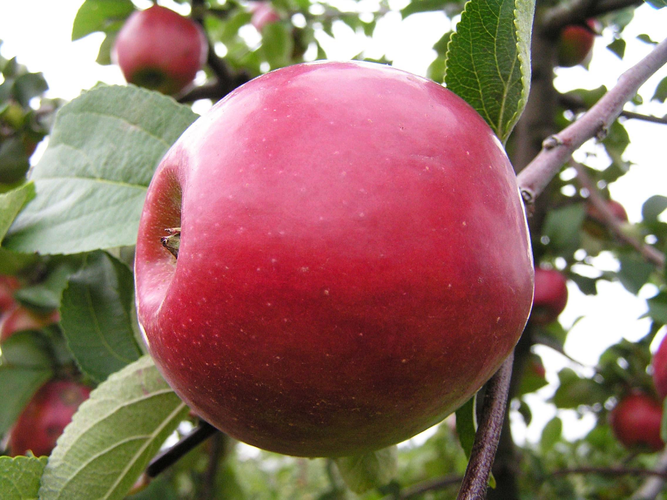 Яблоня Анис алый 3