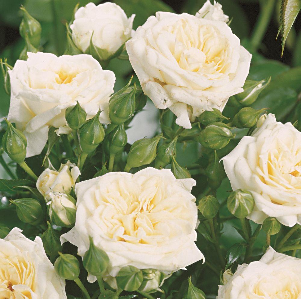 Роза Ханимилк изображение 1