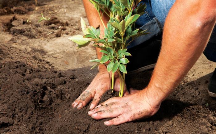 Посадка пионов весной: агротехнические советы и рекомендации