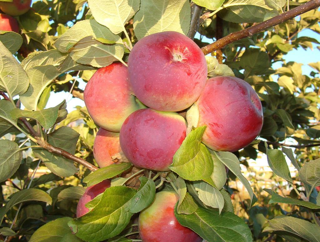 Саженцы яблони Орлик 2