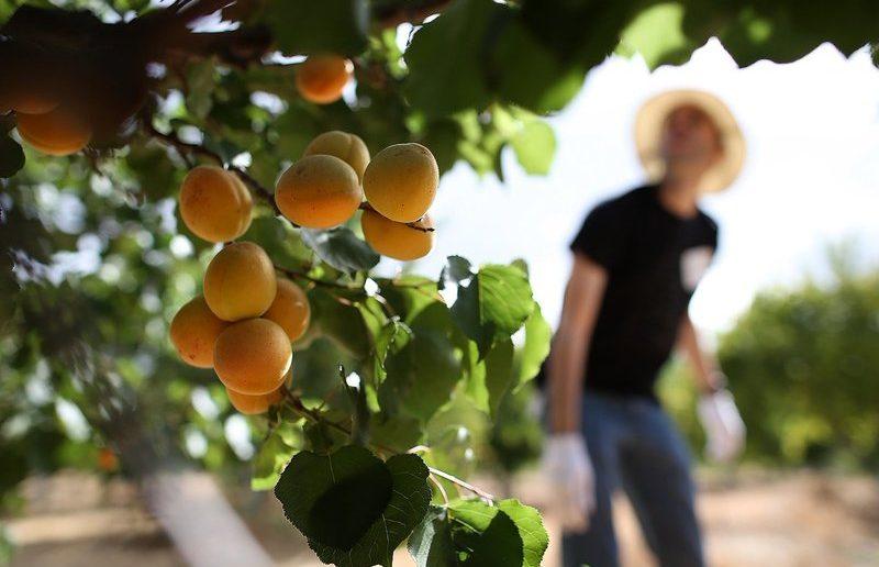 Посадка саженцев абрикоса: агротехнические советы для всех