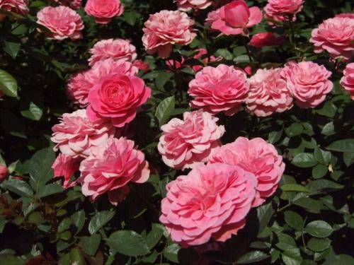 Роза Амулет 3
