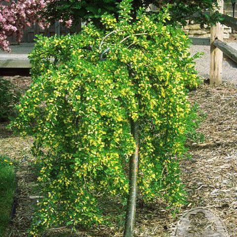 Акация желтая (Пендула) изображение 2