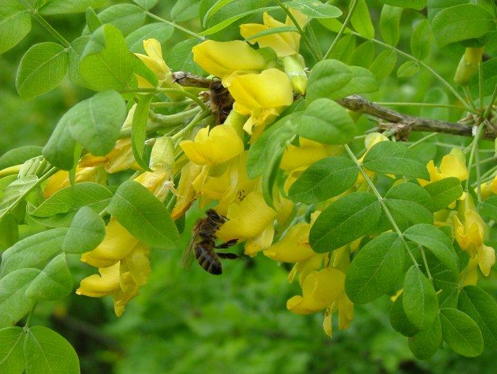 Акация желтая (Карагана) 3