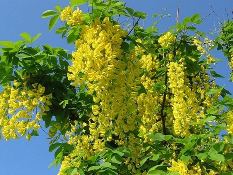 Акация желтая (Карагана) 2