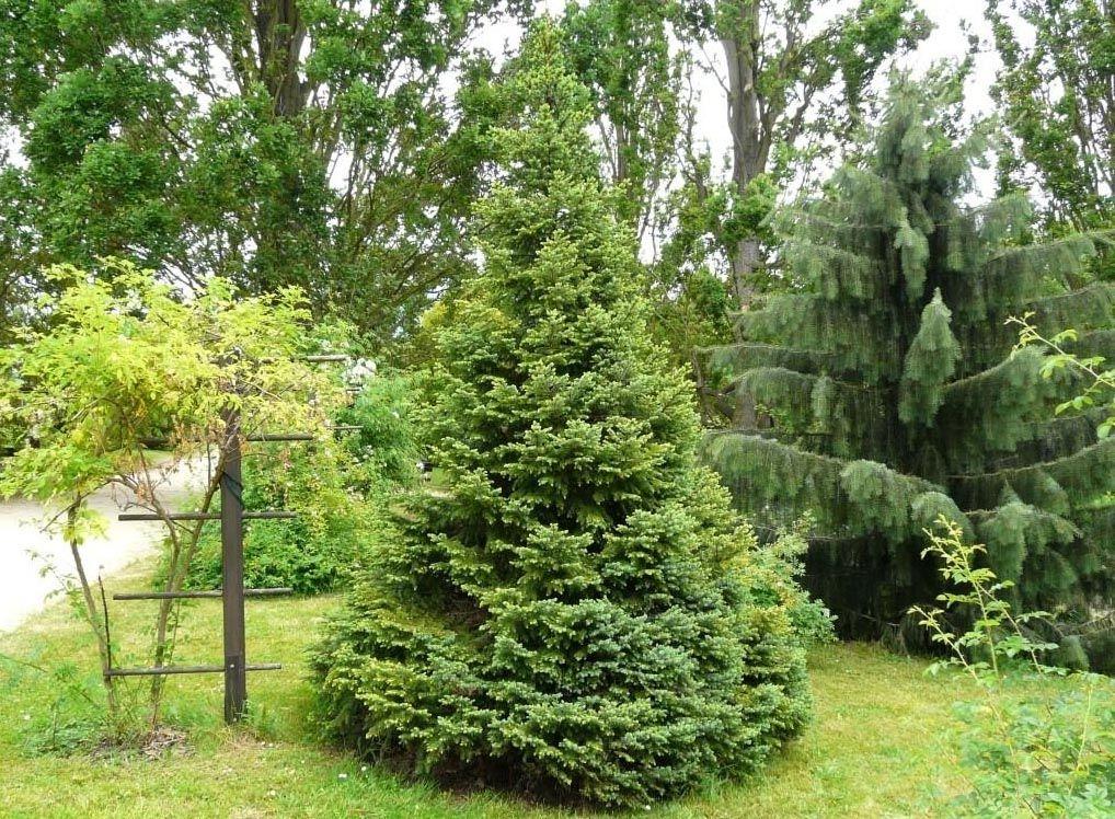 Ель сербская, Picea omorika изображение 3