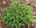 Ель сербская, Picea omorika