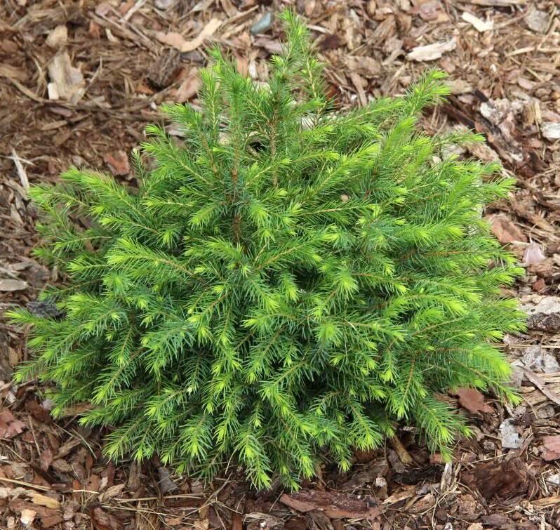 Ель сербская, Picea omorika изображение 1