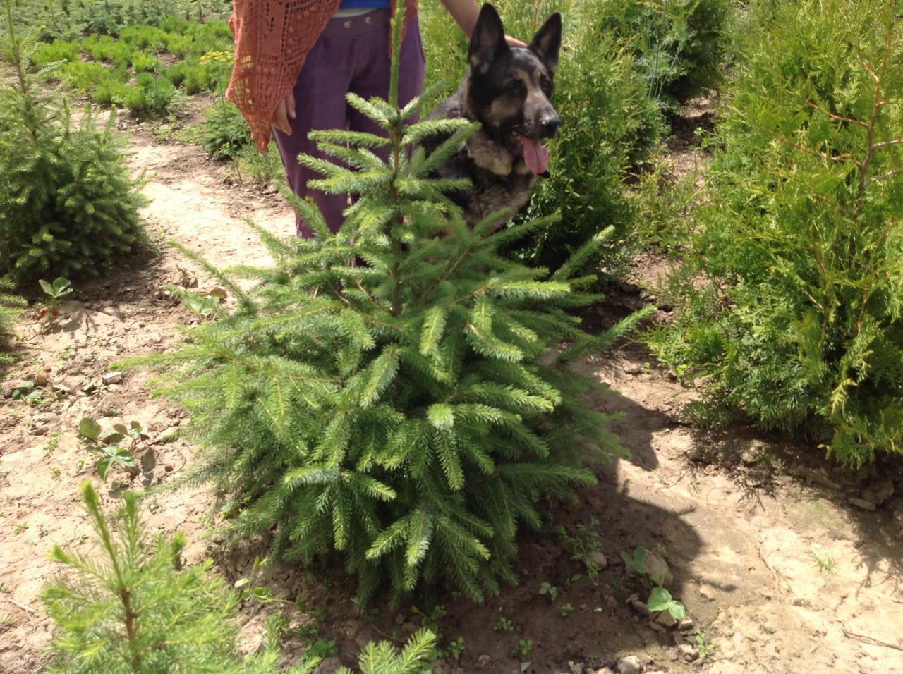 Ель сербская, Picea omorika изображение 2