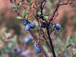 Посадка голубики весной саженцами: технология высадки в грунт