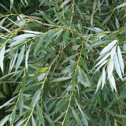 Ива плакучая Salix изображение 1
