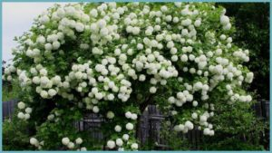 Калина обыкновенная – настоящее украшение для каждого сада.