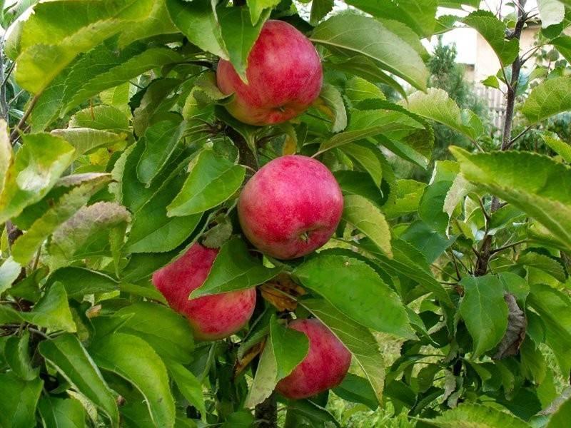 Яблоня Арбат изображение 3