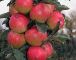 Яблоня Арбат