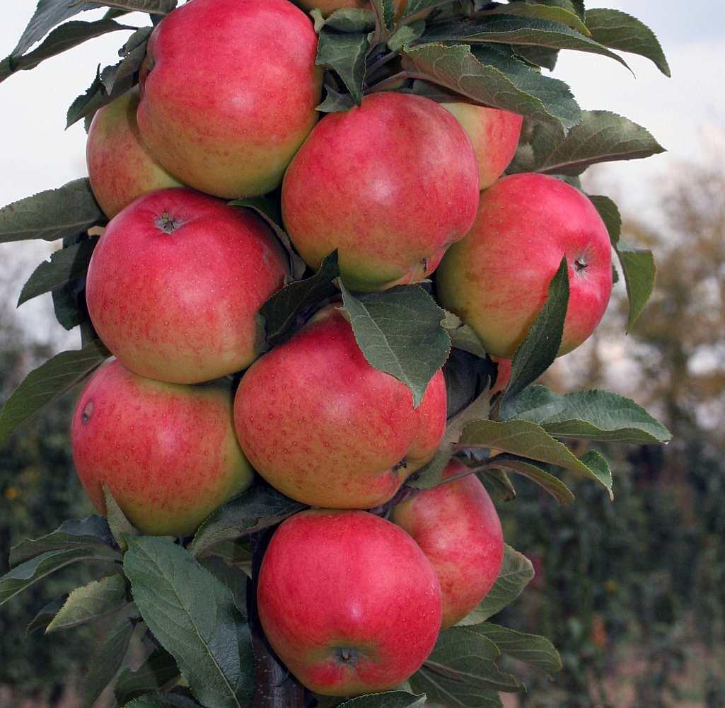 Яблоня Арбат изображение 1