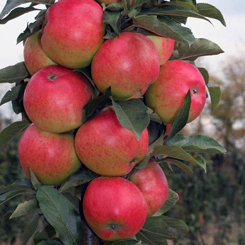 Яблоня Валюта 2