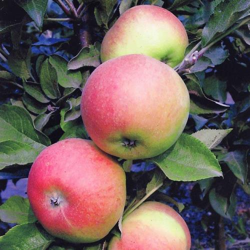 Яблоня Валюта 1