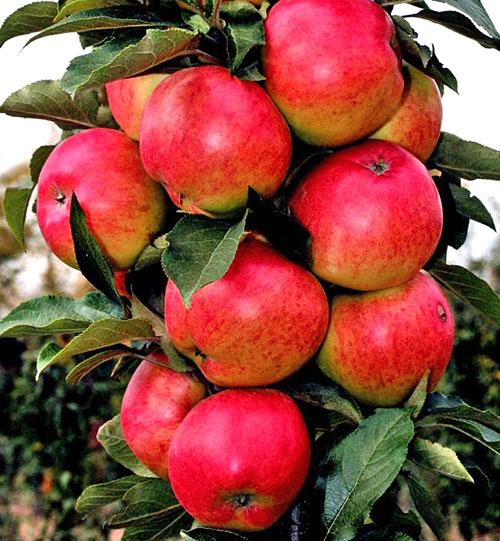 Яблоня Валюта 3