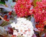 Пузыреплодник (калинолистный) Ред Барон