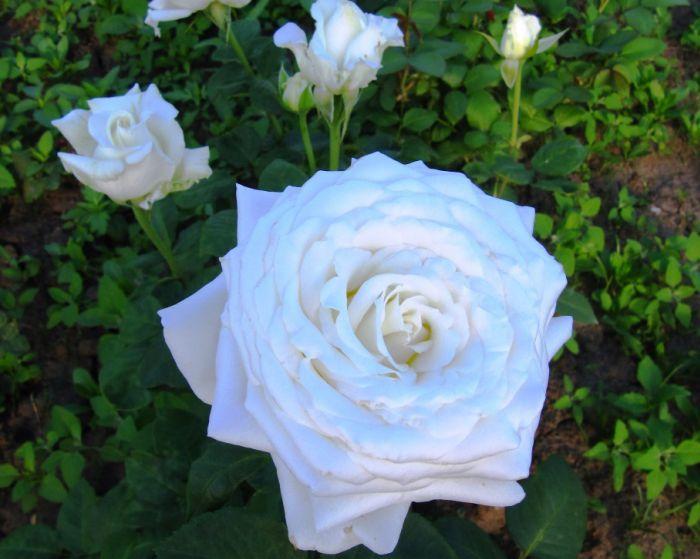 Роза Боинг изображение 3