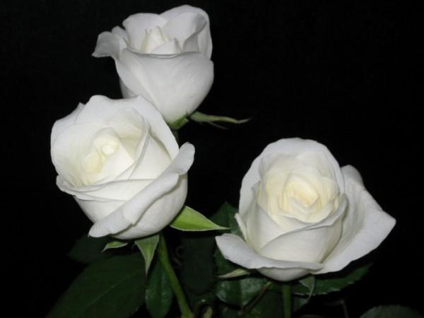 Роза Боинг изображение 2