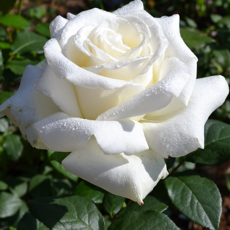 Роза Боинг изображение 1