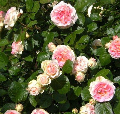 Роза Сезар изображение 2