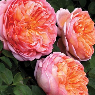 Роза английская Абрахам Дерби 3