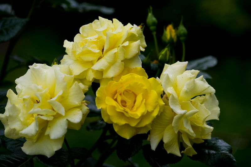 Роза парковая Чайнатаун изображение 2