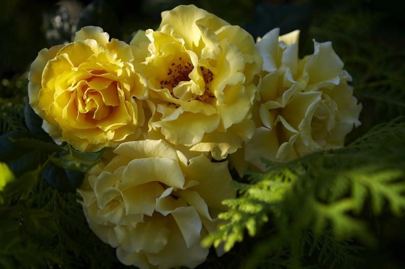 Роза парковая Чайнатаун изображение 3