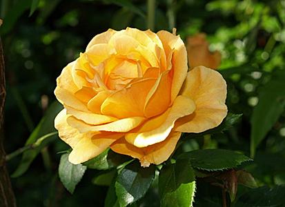 Роза парковая Чайнатаун изображение 1
