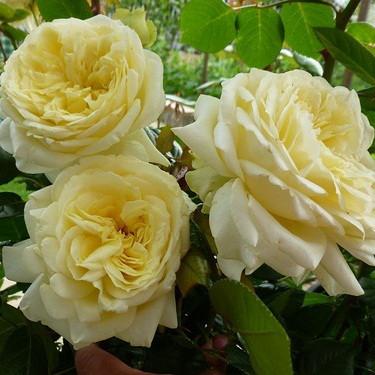 Роза Эльф изображение 3