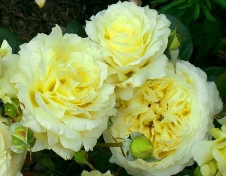 Роза Эльф изображение 1