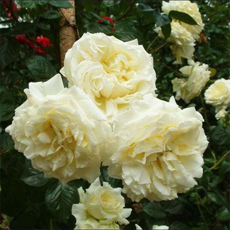 Роза Эльф изображение 2