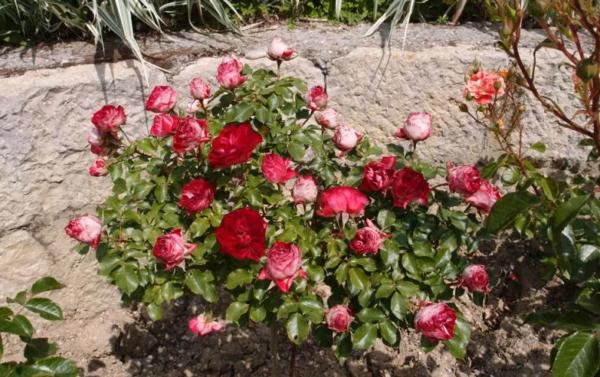 Роза Гранатовый Браслет изображение 3