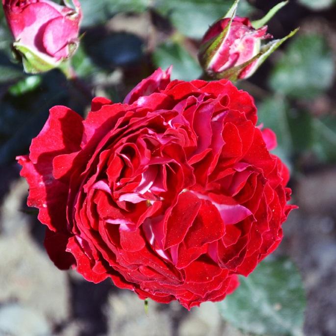 Роза Гранатовый Браслет изображение 1