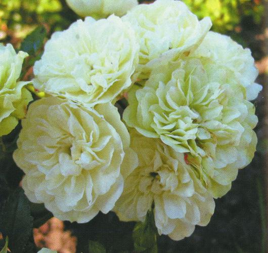 Роза Грин Айс 3