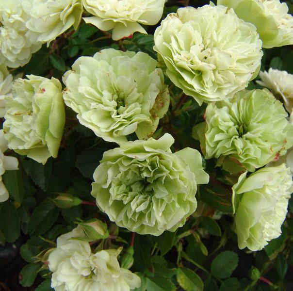 Роза Грин Айс 2