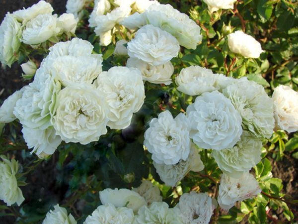 Роза Грин Айс 1