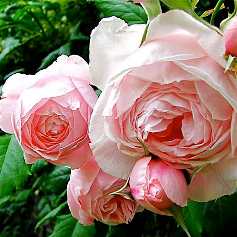 Роза Нахема 1