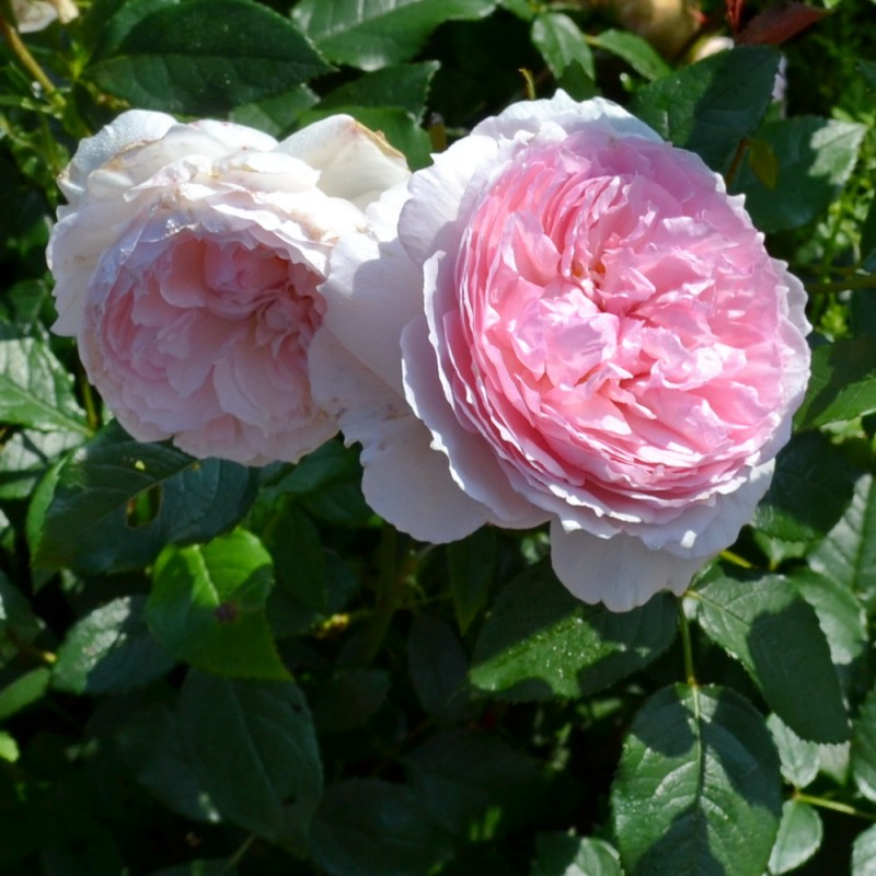 Роза Нахема 2