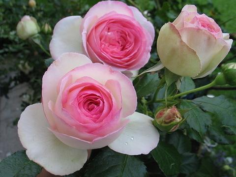 Роза плетистая Пьер де Ронсар изображение 1