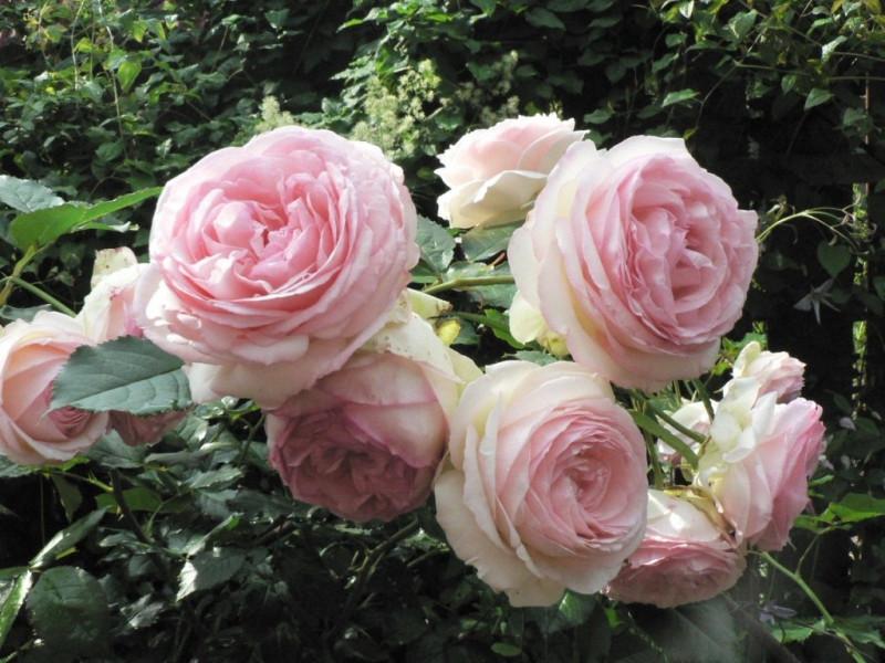 Роза плетистая Пьер де Ронсар 3