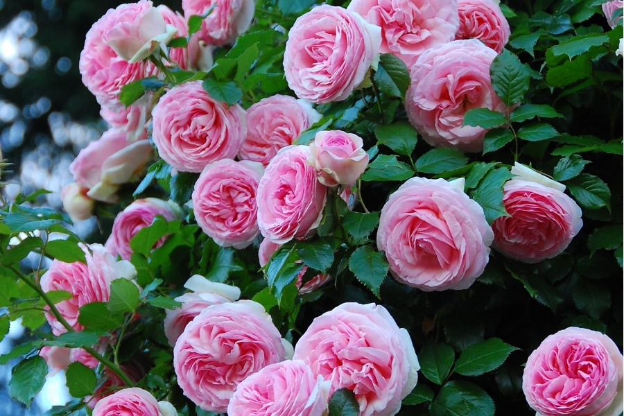 Роза плетистая Пьер де Ронсар изображение 2