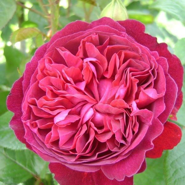 Роза английская Вильям Шекспир изображение 3