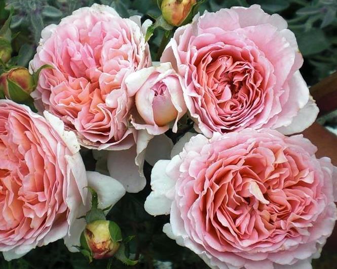 Роза английская Абрахам Дерби изображение 1