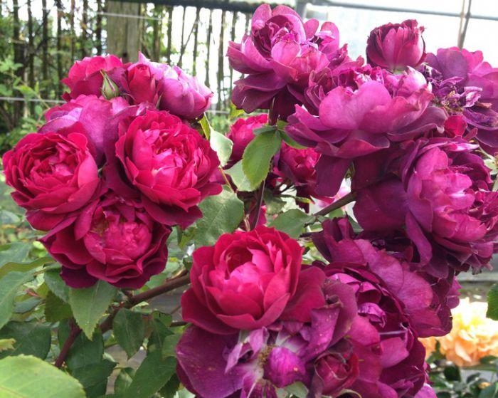 Бордюрные розы Кардинал изображение 3